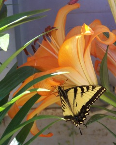 Orange Easter Lilly with Butterfly