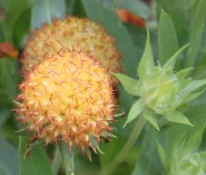 Yellow round pod