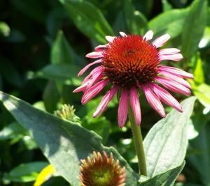 Echinacea in the sun