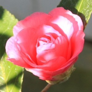 perfect-pink-rose
